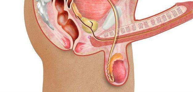 Anatomie du pénis : ce qu'il faut savoir